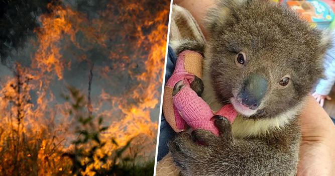 Bushfires-Koala